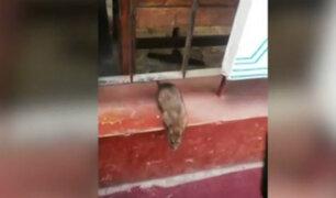Ratas en hospital Dos de Mayo causan alarma en pacientes y personal médico
