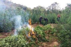Incineran más de 25 mil plantones de marihuana en Ica