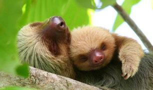 Inglaterra: Oso perezoso nace en zoológico después de un año