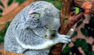 ONG asegura que los koalas están ''funcionalmente extintos''