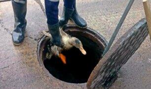 VIDEO: rescatan pato que estaba atrapado en buzón de desagüe