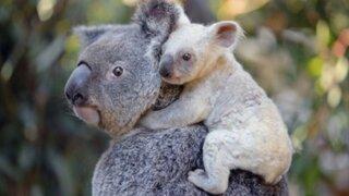 """¡Están desapareciendo! Declaran """"funcionalmente extintos"""" a los koalas"""