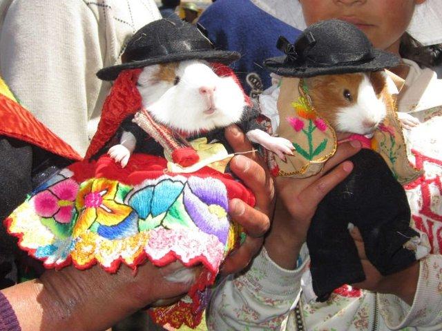 Huancayo: desfile de cuyes con trajes típicos por el Día de la Madre