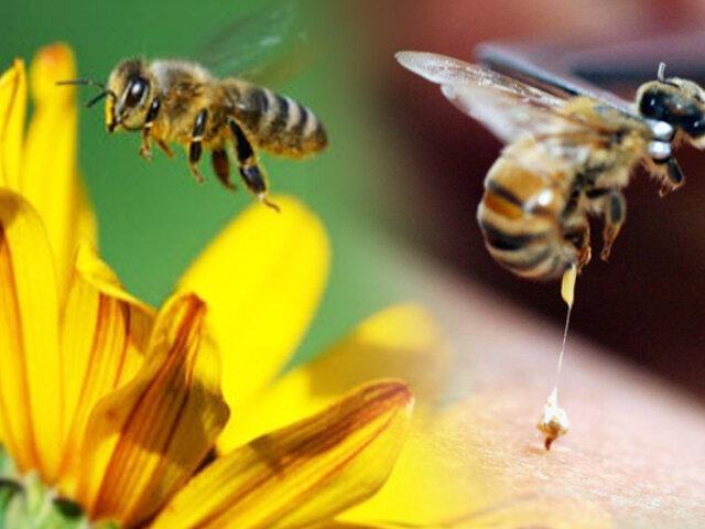 Conozca el poder del veneno de las abejas y las propiedades curativas que posee