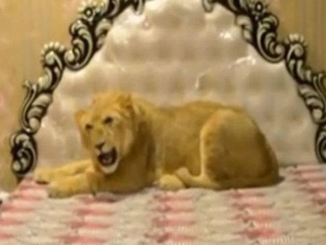 Millonario convive con su engreído: un león