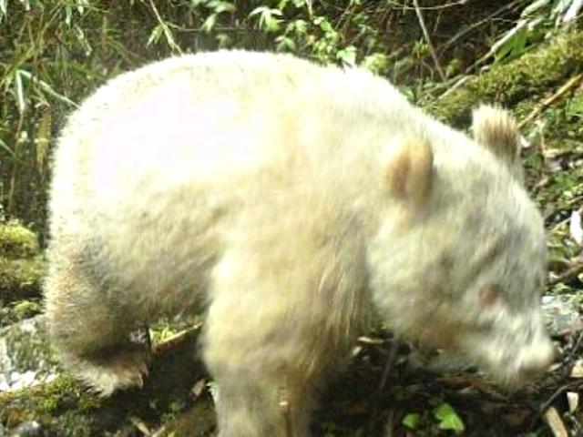 Insólito: difunden fotografía del primer panda albino