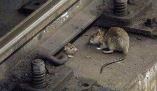 Alarma en Nueva York: La ciudad está infestada de ratas