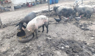 Clausuran 'chancherías' por malas condiciones sanitarias en Pachacámac
