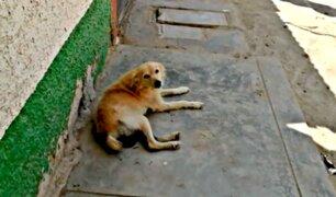 Lambayeque: mujer corta genitales a perro callejero que 'pisó' a su mascota