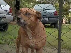 Entra a robar a casa y perros pitbull le arrancan una pierna
