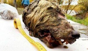 Encuentran cabeza de lobo de 40 mil años de antigüedad