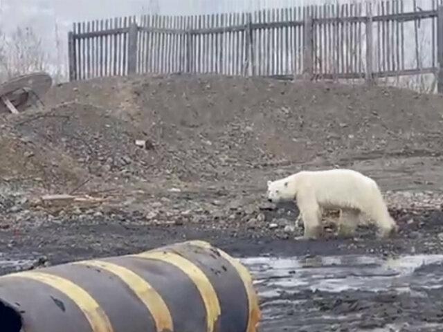 Rusia: oso polar busca alimento en zona industrial a 800 km de su hábitat natural