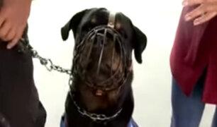 Conoce la rutina de adiestramiento del perro que frustró asalto en Surquillo