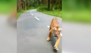 Motociclistas se salvan de ser atacados por tigre