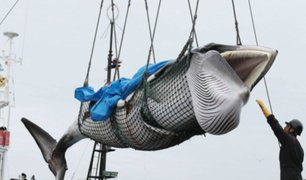 Japón reanudará la caza comercial de ballenas para fines comerciales
