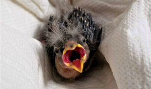 Hombre en estado de ebriedad rescata un ave herida y lo envía en taxi al veterinario