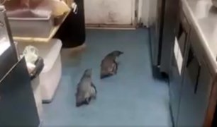 Nueva Zelanda: policía rescata a pingüinos que 'invadieron' puesto de sushi