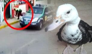 """Insólito: policía fue registrado """"capturando"""" a un pato en Arequipa"""