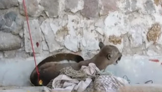 Arequipa: capturan puma tras dos días de intensa búsqueda
