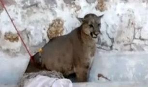 Arequipa: puma atrapado en Cerro Colorado murió por herida de bala