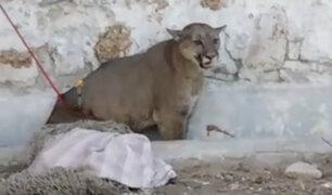 Arequipa: PNP señaló que dispararon a puma por recomendación de Serfor ante peligro