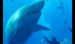 EEUU: buzos graban al tiburón más grande del mundo