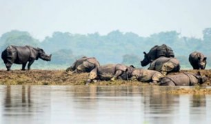 India: mueren 17 rinocerontes en peligro de extinción tras fuertes lluvias