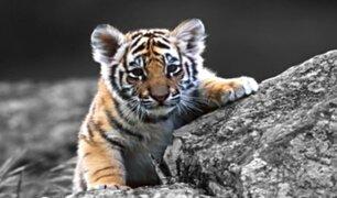 Vietnam: encuentran siete tigres congelados dentro de un auto