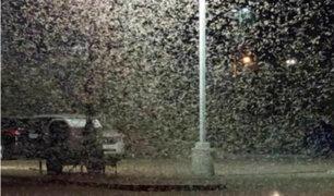 EEUU: autoridades señalaron que plaga de saltamontes no representa peligro