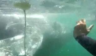 Piura: rescatan ballena jorobada de playa El Ñuro