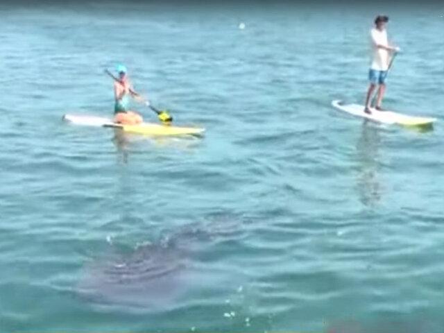Tumbes: bañistas llegan para nadar junto a los tiburón ballena