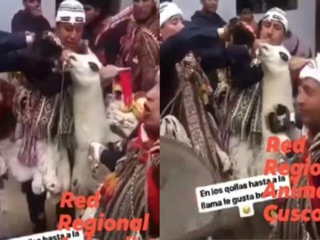 Cusco: danzantes obligan a llama a tomar cerveza