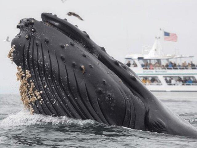 La impactante imagen de un león marino atrapado en la boca de una ballena