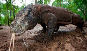 Dragón de Komodo: estudio revela las raíces de la tenacidad de este misterioso reptil