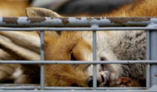 Estados Unidos reautoriza 'bombas de cianuro' para asesinar animales salvajes