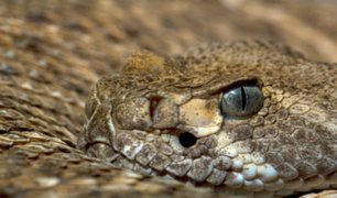 Cambio climático afecta el comportamiento de las serpientes cascabel