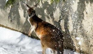Captan a canguros saltando en la nieve tras inusual ola de frío