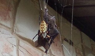 Video: captan a araña gigante devorando un murciélago