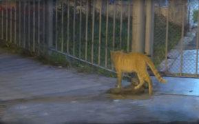 El Agustino: denuncian que gatos han invadido el Hospital Sisol