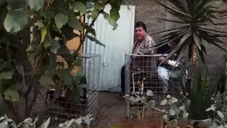 Vecinos sin límites: instalan corrales de gallos en plena calle en SMP