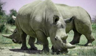 Kenia: científicos podrían salvar a rinoceronte blanco de la extinción