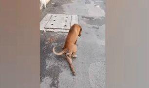 Perro finge tener pata rota para conseguir comida y cariño de transeúntes