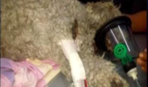 Maltrato animal: lanzan a un perro desde el cuarto piso en Breña