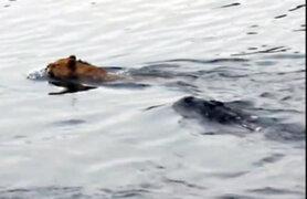 ¡Increíble! León salvó de morir devorado por cocodrilo luego de tremendo salto en río