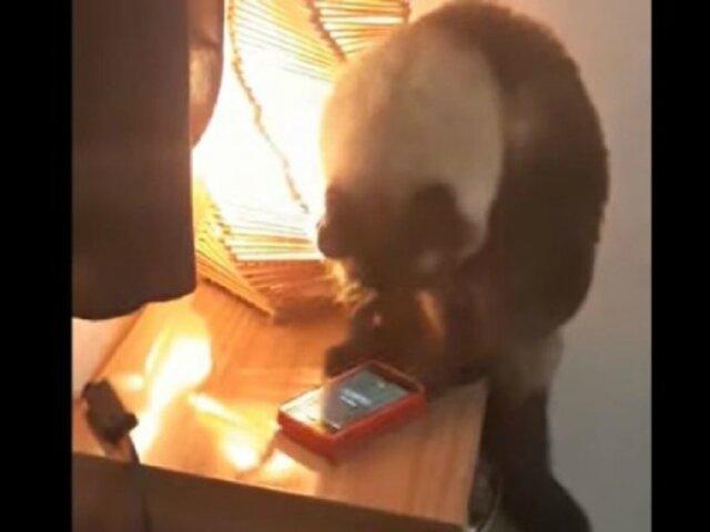 VIDEO: gato apagaba despertador para evitar que dueños fueran a trabajar