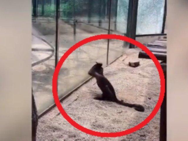Mono intenta escapar de zoológico rompiendo el vidrio de su jaula