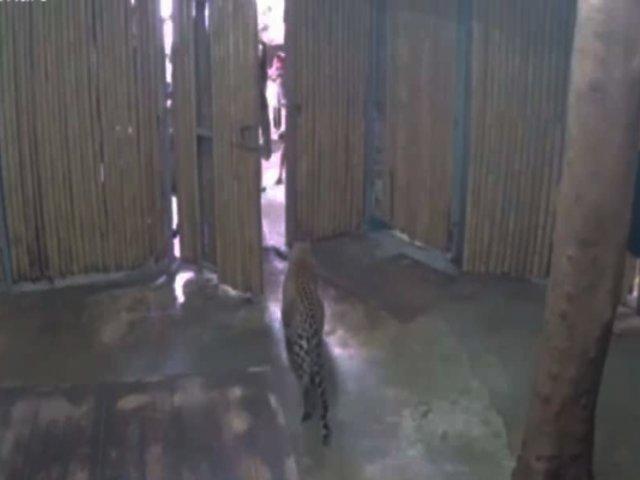 Tailandia: hombre abre jaula de leopardo y este muerde a su nieto