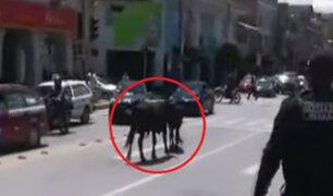 Toros que se escaparon de camión ocasionaron pánico en pleno centro de Huaraz