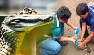 VRAEM: liberan a caimanes que estaban en cautiverio y su carne iba ser comercializada