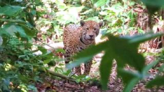 Terror en Juliaca por jaguar que mató a mujer en plena vía pública